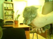 Продам чистокровных котят персов