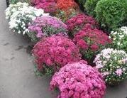 Горшечная хризантема оптом