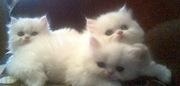 Персидские котята  риженькие