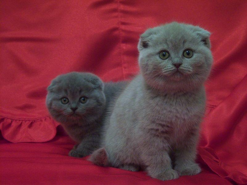 И британские котята кошки и котята