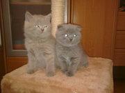 Продам британского короткошорстого котенка